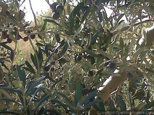 olives-mature-gabes.jpg